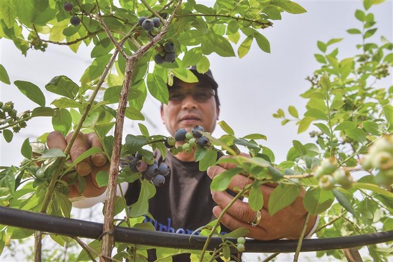 蓝莓果 挂枝头